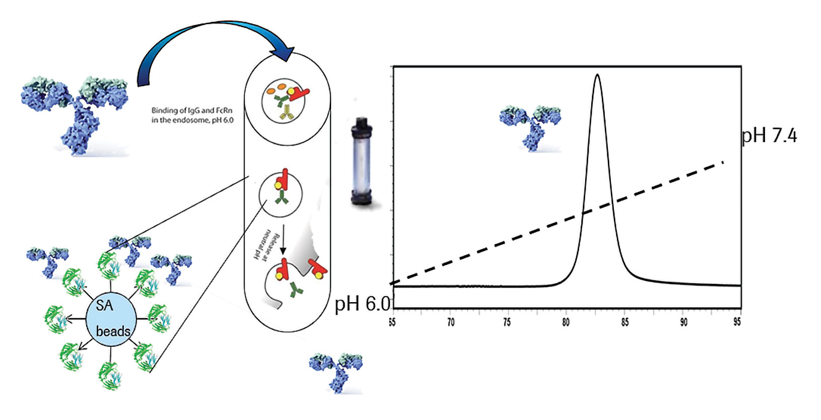 Mimicking Natural Antibody Recycling For In Vitro