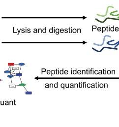 protein digestion diagram [ 1741 x 744 Pixel ]