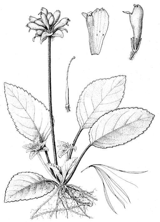 Calcareoboea coccinea [C.Y.Wu ex] H.W.Li, type species