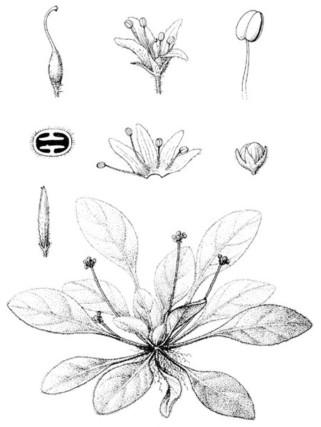 Thamnocharis esquirolii (H.Lév.) W.T.Wang, type and only