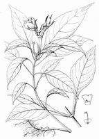 Hemiboea follicularis C.B.Clarke, type species