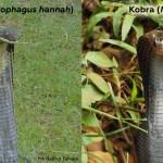 ular kobra, ular king kobra, ular king cobra