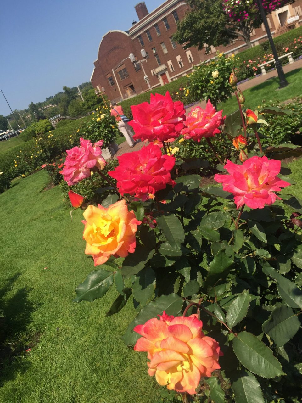 Duluth roses
