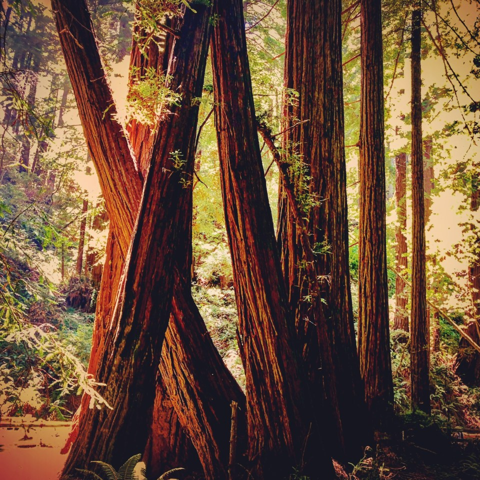 Muir Woods, CA. Donner Pass. 22 July 19. Copyright, Alarice Multimedia, LLC.