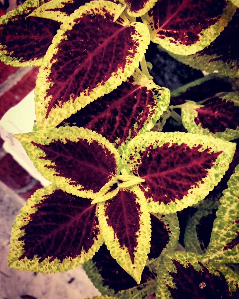 Coleus. 13 Friday September 19.