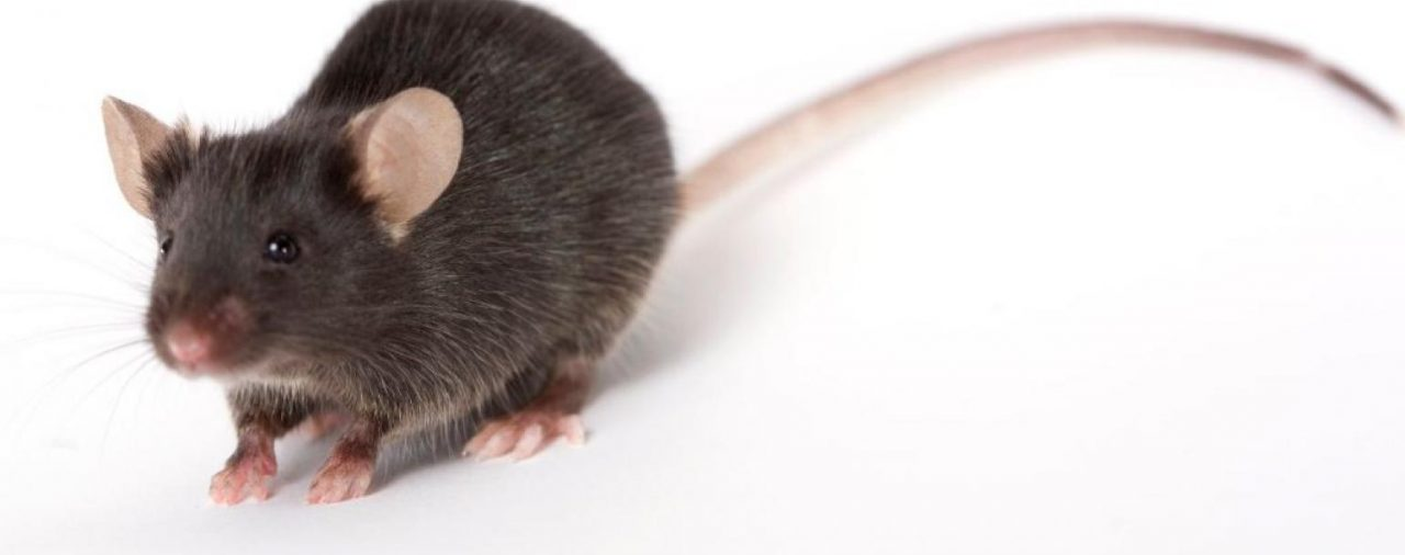 Knockout Mice in the Study of Human Genetic Disease