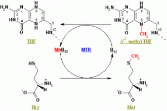 Methionine synthase (MTR) - image from Wikimedia Commons