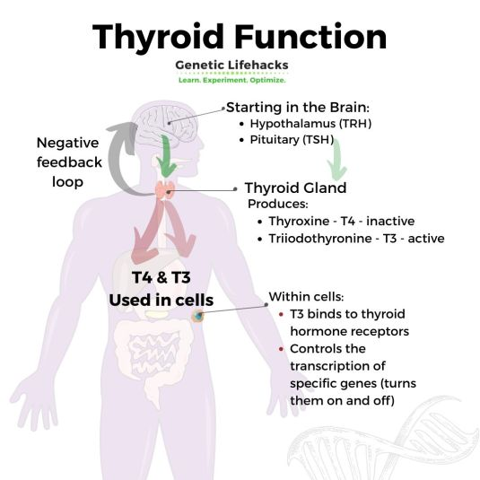 What Your Genetic Raw Data File Can Tell You About Your Thyroid