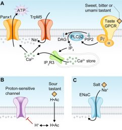 taste receptor diagram image source the cell biology of taste creative commons license  [ 974 x 1024 Pixel ]