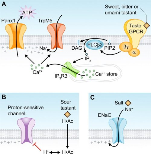 small resolution of taste receptor diagram image source the cell biology of taste creative commons license