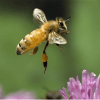 Beepocalypse Myth Handbook: Dissecting claims of pollinator collapse