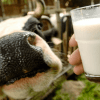 "Will raw or organic milk reduce ""inflammation""?"