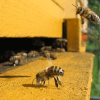 Preponderance of field studies and latest research still concludes bees not disappearing