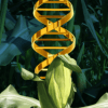 CRISPR conundrum: Is there a line between GMOs and 'natural' crops when genes are edited?