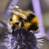 Are neonicotinoid insecticide seed treatments endangering wild bees?