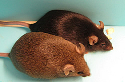 Making a Mightier Knockout Mouse | NHGRI