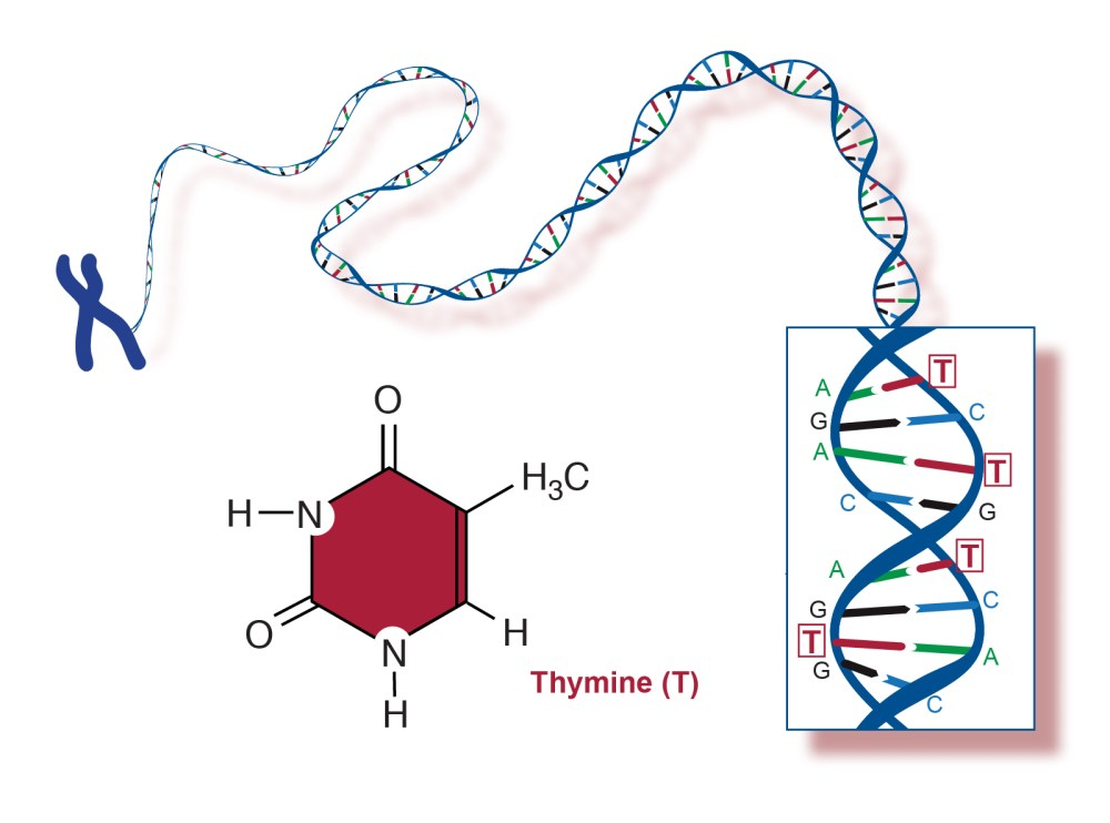 medium resolution of within the dna molecule thymine bases located on one strand form chemical bonds with adenine bases on the opposite strand the sequence of four dna bases