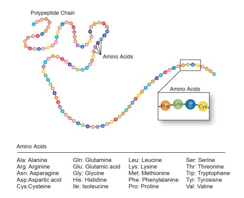 small resolution of the sequence of the amino acid chain causes the polypeptide to fold into a shape that is biologically active the amino acid sequences of proteins are