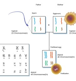 in humans cells other than human sex cells are diploid and have 23 pairs of chromosomes human sex cells egg and sperm cells contain a single set of  [ 1600 x 1206 Pixel ]