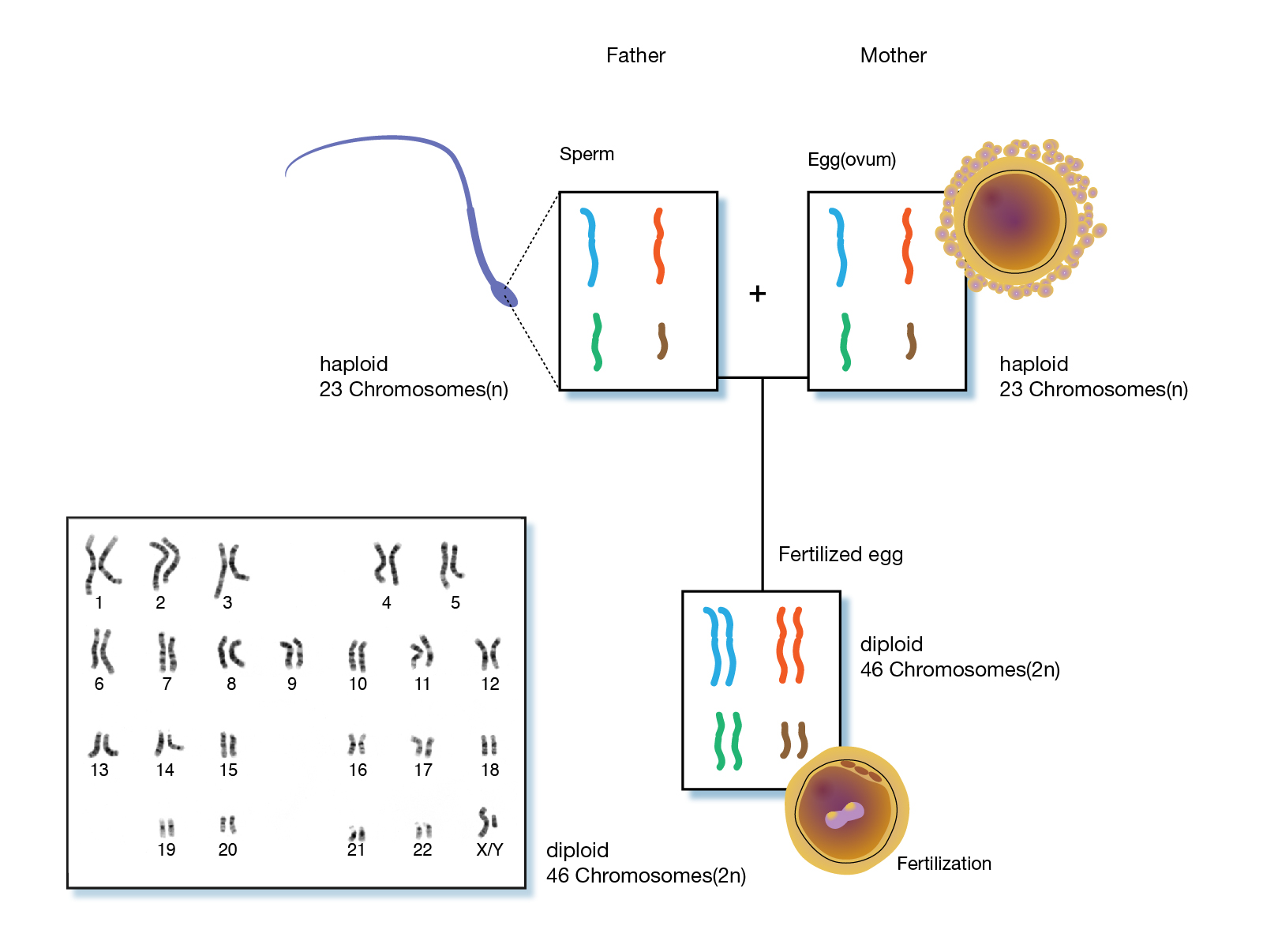 hight resolution of in humans cells other than human sex cells are diploid and have 23 pairs of chromosomes human sex cells egg and sperm cells contain a single set of