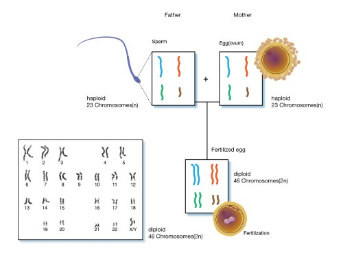 small resolution of in humans cells other than human sex cells are diploid and have 23 pairs of chromosomes human sex cells egg and sperm cells contain a single set of
