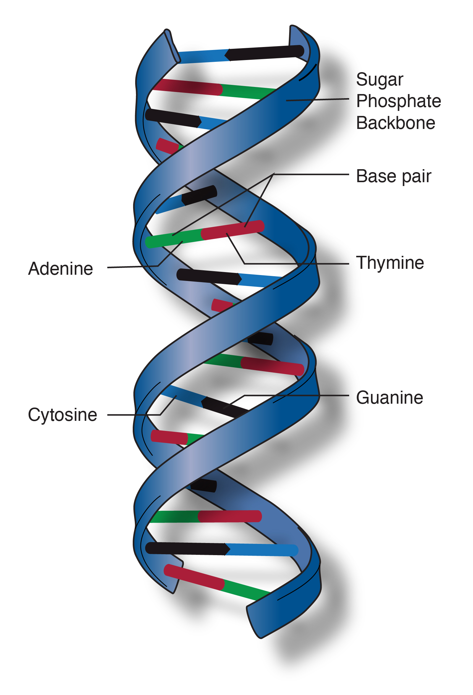 double helix talking glossary