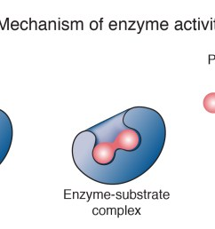 the enzyme is not destroyed during the reaction and is used over and over a cell contains thousands of different types of enzyme molecules each specific  [ 1600 x 792 Pixel ]