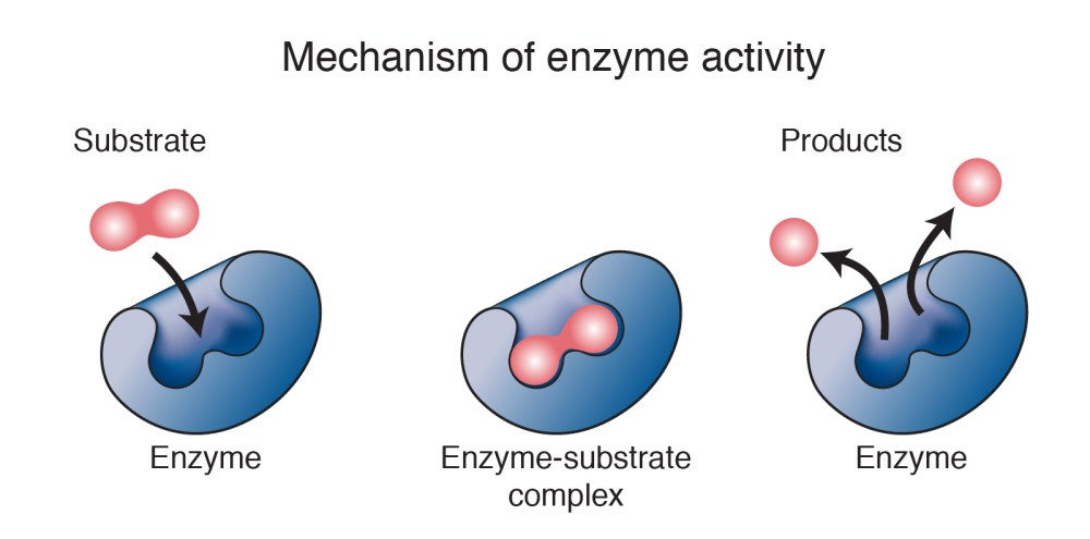 medium resolution of the enzyme is not destroyed during the reaction and is used over and over a cell contains thousands of different types of enzyme molecules each specific