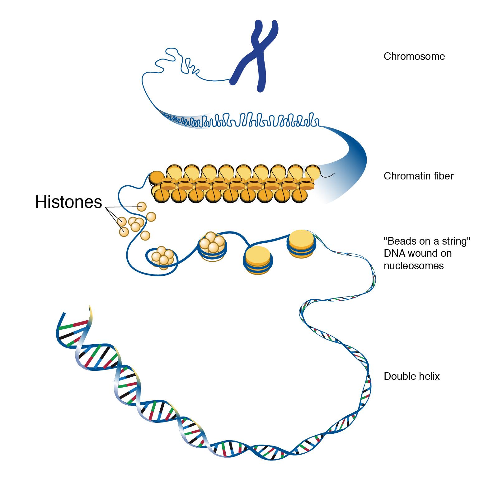 Histone