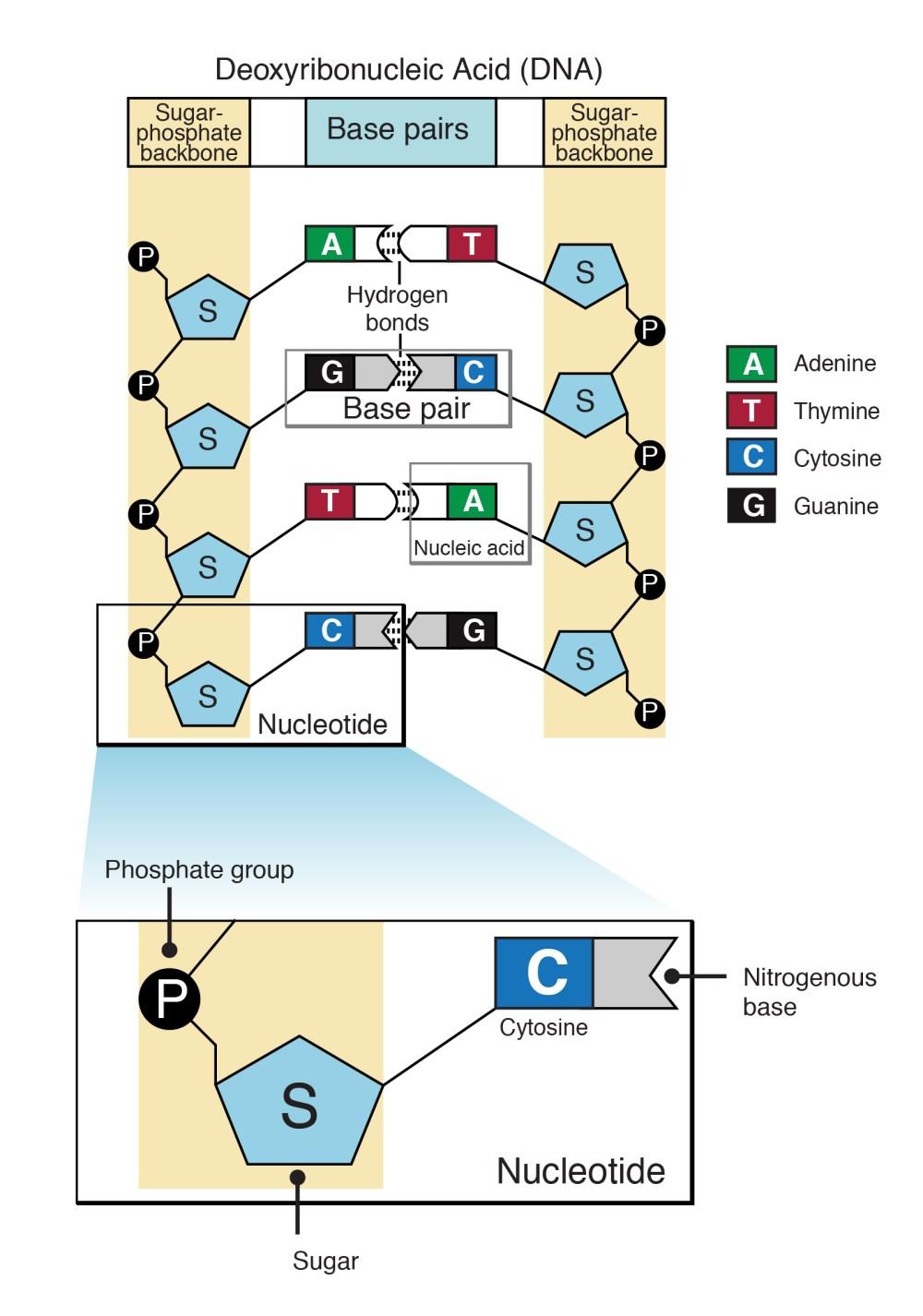 medium resolution of narration nucleotides
