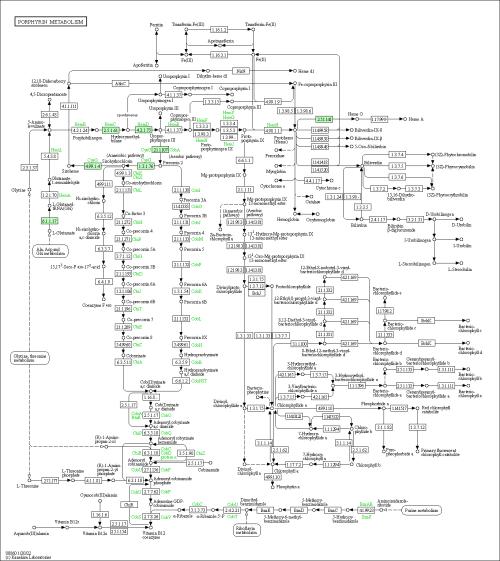 small resolution of  representation of porphyrin and chlorophyll metabolism baumannia cicadellinicola hc symbioint of homalodisca coagulata glassy winged sharpshooter