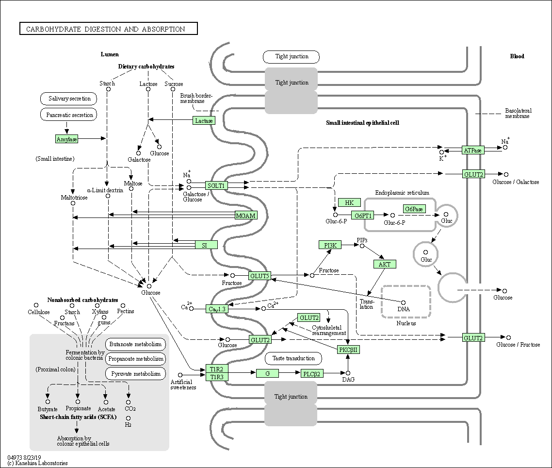 Kegg Pathway Carbohydrate Digestion And Absorption