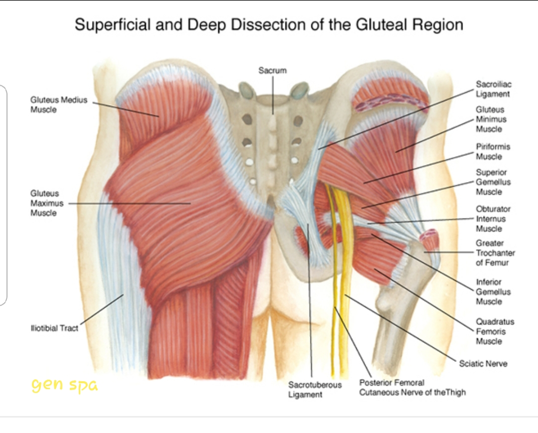 gluteus muscles diagram pain evinrude ficht wiring massage therapy for lower back technique at