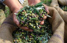 Η Περιφέρεια Κρήτης ενημερώνει τους ελαιοπαραγωγούς