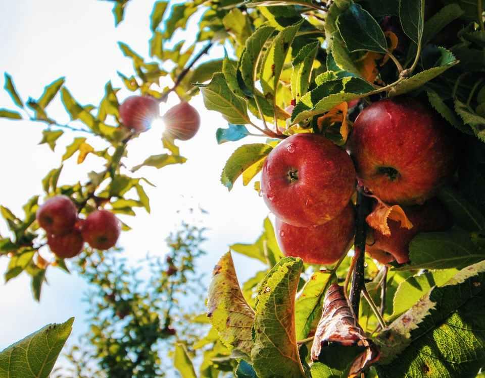 Calvados Äpfel