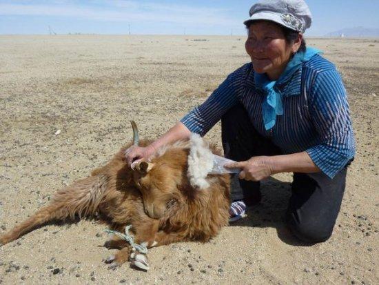 Combing cashmere fibers in Mongolia