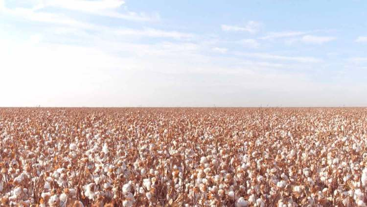 Supima Cotton Fields