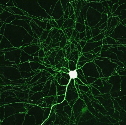 Brain Synapses, neurons
