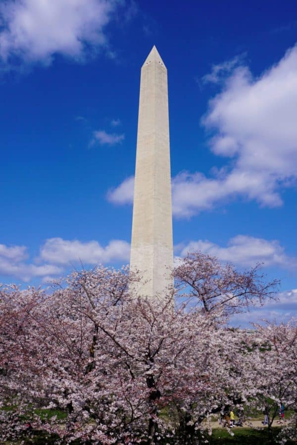 Washington Monument and cherry trees