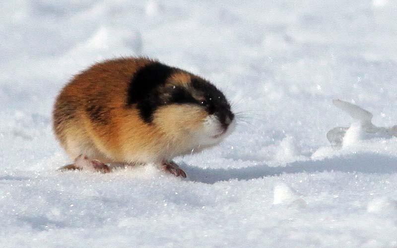Αρκτικά ζώα: Lemming