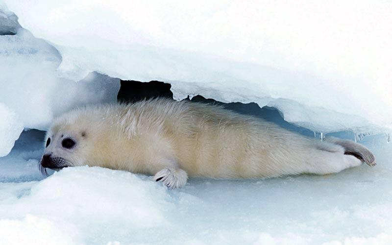 Αρκτικά ζώα: Λιμενική σφραγίδα