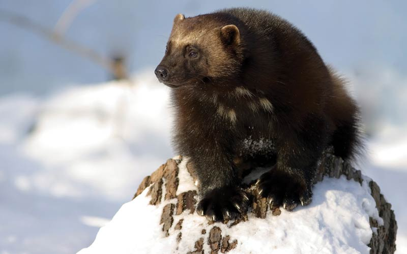 Αρκτικά ζώα: Wolverine