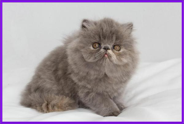 20+ Exotic Persian Kittens Pictures and Ideas on Weric