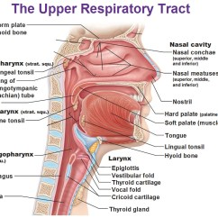 The Lung Anatomy Diagram Label How To Draw A Circle Of Induction Motor Fill In Lungs Toyskids Co Index R E Respiratorydisease Site 6 Lobes