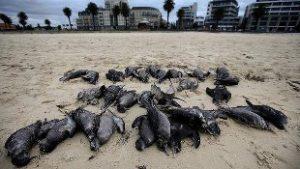 dead-mutton-birds