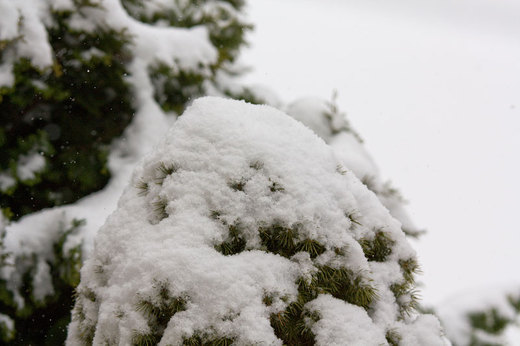 bush-covered-with-snow.jpg