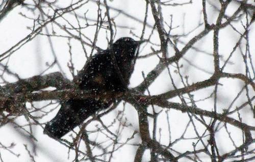 crow-3.jpg