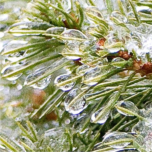 icy-bush.jpg