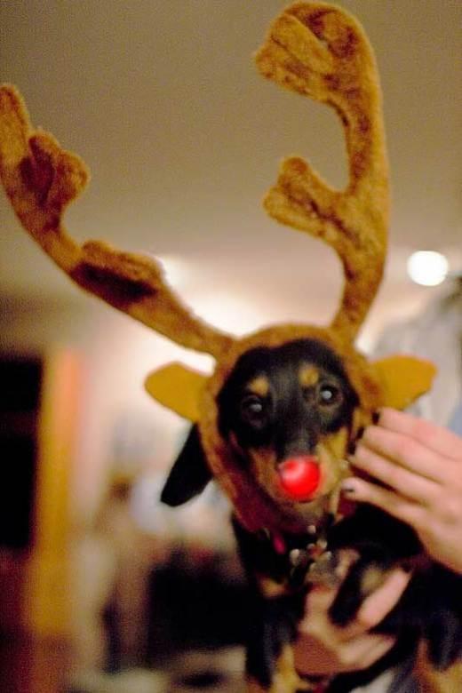 roxie-the-red-nose-reindeer.jpg