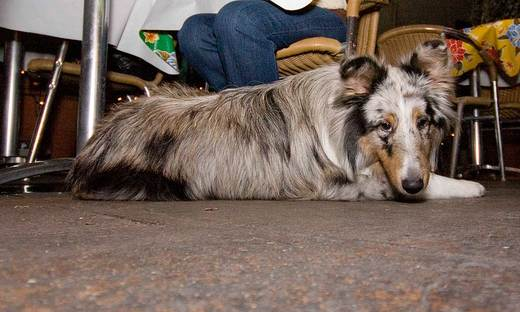 sheltie-at-the-restaurant-palm-springs.jpg